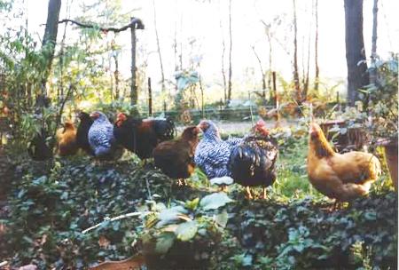 Kippen Online Aanschaf Van Kippen